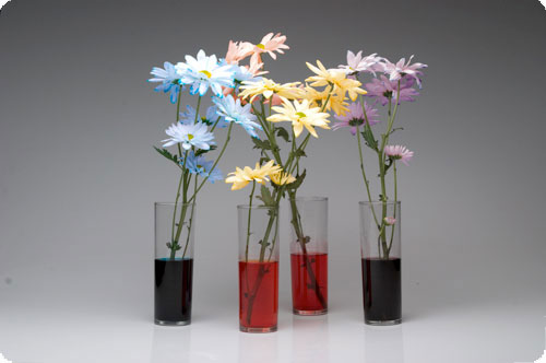 Experiment on flowers that change color science project for How to dye flowers using food coloring